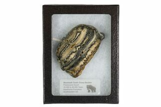 "Buy 2.4"" Mammoth Molar Slice With Case - South Carolina - #95293"