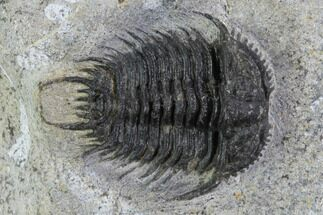 "Buy 1.25"" Gondwanaspis Trilobite - Rare species - #92500"
