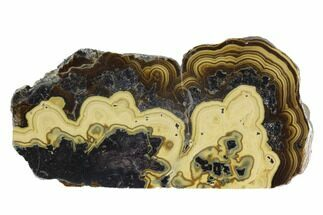 "3.2"" Polished Schalenblende Slice - Poland For Sale, #96767"