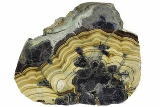 "3.4"" Polished Schalenblende Slice - Poland For Sale, #96776"