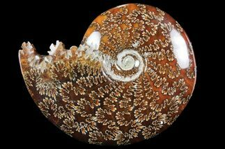 "Buy 5.7"" Polished, Agatized Ammonite (Cleoniceras) - Madagascar - #97366"
