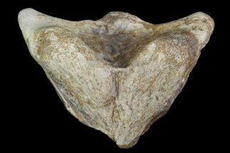Unidentified Dinosaur - Fossils For Sale - #97356