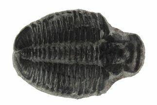 Elrathia kingii  - Fossils For Sale - #97110