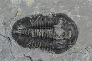 "1.65"" Asaphiscus Wheeleri Trilobite - Utah For Sale, #97169"