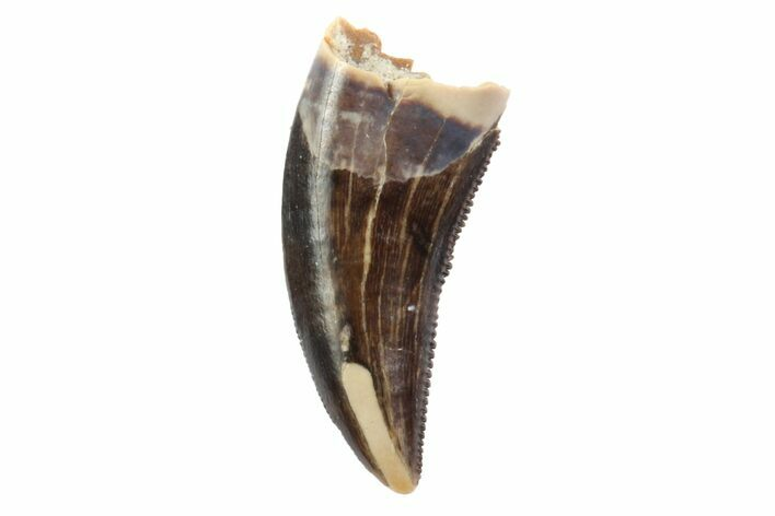 "Serrated, .49"" Theropod (Raptor) Tooth - Montana"