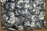 "Wholesale Lot: Polished Goniatite Fossils 2-3"" - 161 Pieces - #91324-1"
