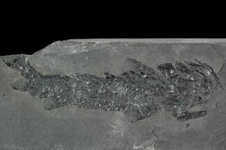 "5.6"" Devonian Lobed-Fin Fish (Osteolepis) pos/neg - Scotland For Sale, #98051"
