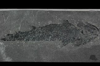 "5.8"" Devonian Lobed-Fin Fish (Osteolepis) - Scotland For Sale, #98039"