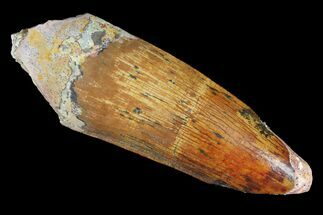 "2.35"" Spinosaurus Tooth - Real Dinosaur Tooth For Sale, #98204"