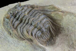 "Buy 1.35"" Spiny Leonaspis Trilobite From Morocco - #98596"