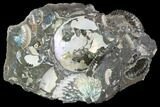 "4.8"" Wide Ammonite Cluster - South Dakota - #98707-1"