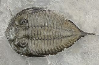 "Buy 2.25"" Dalmanites Trilobite Fossil  - New York - #99028"