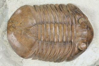 "3.35"" Big, Fat, Asaphus Latus Trilobite - Russia For Sale, #99263"