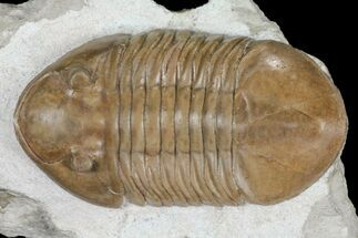 "Buy 3.35"" Asaphus Raniceps Trilobite - Top Quality Specimen - #99265"