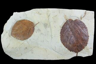 Buy Pair Of Detailed Fossil Leaves (Davidia) - Montana - #99442