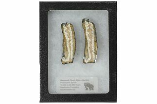 Mammuthus columbi - Fossils For Sale - #99516