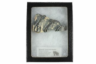 "Buy 2.5"" Mammoth Molar Slice With Case - South Carolina - #99529"