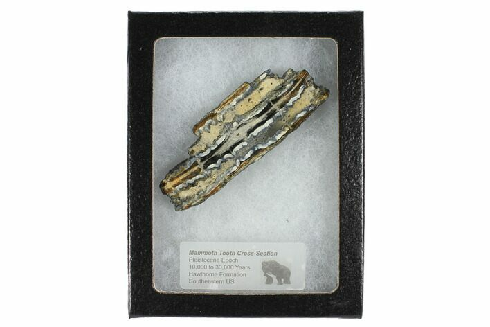 "2.7"" Mammoth Molar Slice With Case - South Carolina"