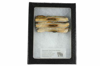 "2.5"" Mammoth Molar Slice With Case - South Carolina For Sale, #99533"