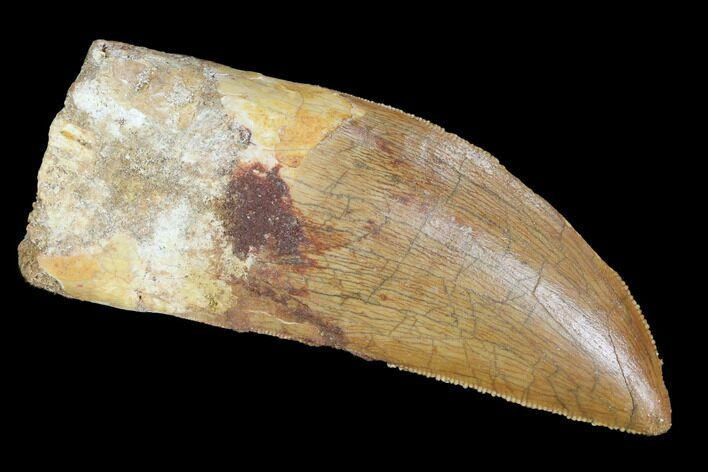 "Serrated, 2.9"" Carcharodontosaurus Tooth - Real Dinosaur Tooth"