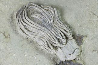 "Buy 2.9"" Crinoid (Platycrinites) With Gastropods - Crawfordsville, Indiana - #99910"