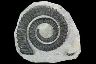Anetoceras sp. - Fossils For Sale - #99951