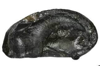 Whale (Unknown Species) - Fossils For Sale - #99981
