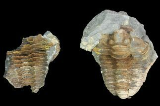 Calymene sp. - Fossils For Sale - #100011