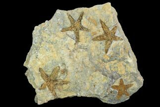 Petraster sp. - Fossils For Sale - #100083