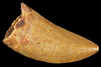 "Serrated, 1.6"" Juvenile Carcharodontosaurus Tooth - Morocco For Sale, #100085"