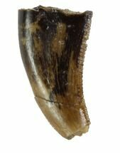 "Bargain, .43"" Theropod (Raptor) Tooth - Montana For Sale, #97442"