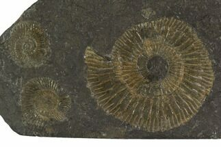 "4.6"" Dactylioceras Ammonite Cluster - Posidonia Shale, Germany For Sale, #100238"