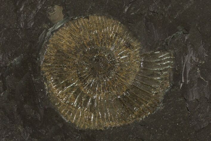 "1.5"" Dactylioceras Ammonite Fossil - Posidonia Shale, Germany"