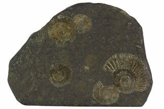 "Buy 4.9"" Dactylioceras Ammonite Cluster - Posidonia Shale, Germany - #100255"
