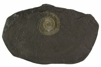 Dactylioceras Ammonite Fossil - Posidonia Shale, Germany For Sale, #100274