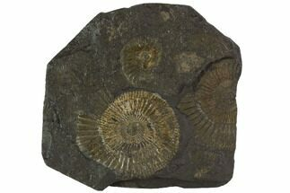 "Buy 3.6"" Dactylioceras Ammonite Cluster - Posidonia Shale, Germany - #100282"