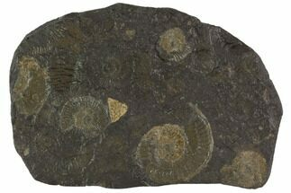 Dactylioceras - Fossils For Sale - #100248