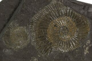 "Buy 4.3"" Dactylioceras Ammonite Cluster - Posidonia Shale, Germany - #100264"