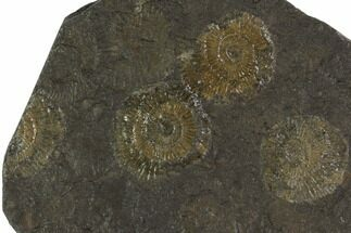 "Buy 5"" Dactylioceras Ammonite Cluster - Posidonia Shale, Germany - #100267"