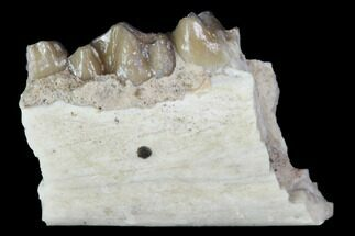 "Buy .6"" Oligocene Ruminant (Leptomeryx) Jaw Section - South Dakota - #100414"
