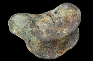 "2.9"" Hadrosaur Foot Bone - Alberta (Disposition #000028-29) For Sale, #100535"