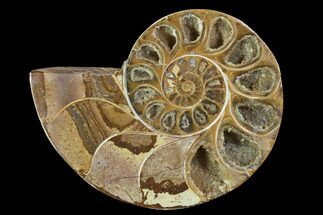 Phylloceratida - Ptychophylloceras? - Fossils For Sale - #100545
