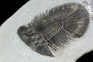"1.9"" Thysanopeltis Trilobite - Issoumour, Morocco For Sale, #100682"