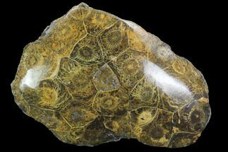 "Buy 3.7"" Polished Fossil Coral (Actinocyathus) - Morocco - #100621"