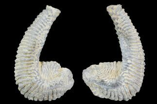 Rastellum carinatum - Fossils For Sale - #100944