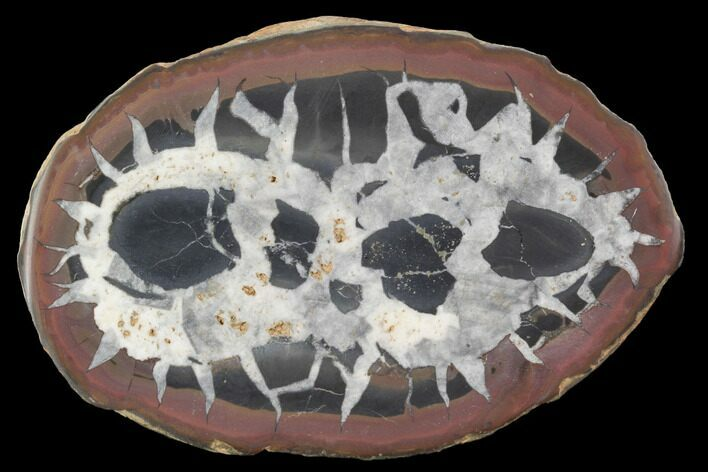 "3.5"" Cut/Polished Septarian Nodule Half - Morocco"