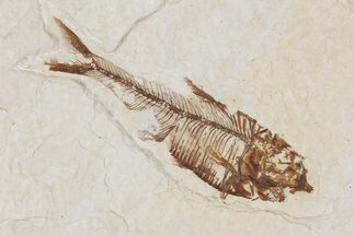 "Buy 2.3"" Diplomystus Fossil Fish - Wyoming - #101185"