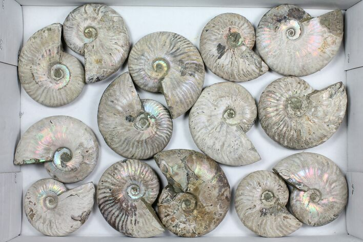 "Wholesale Lot: 3-4"" Silver Ammonite Fossils - 14 Pieces"