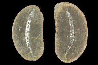 Coprinoscolex ellogimus - Fossils For Sale - #101469