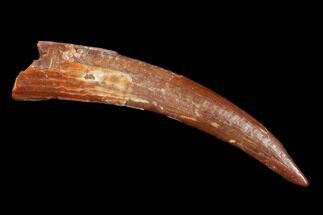 ".98"" Pterosaur (Siroccopteryx) Tooth - Morocco For Sale, #101714"